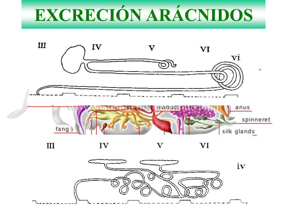 EXCRECIÓN ARÁCNIDOS
