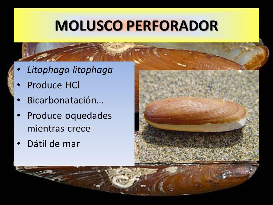 MOLUSCO PERFORADOR Litophaga litophaga Produce HCl Bicarbonatación…