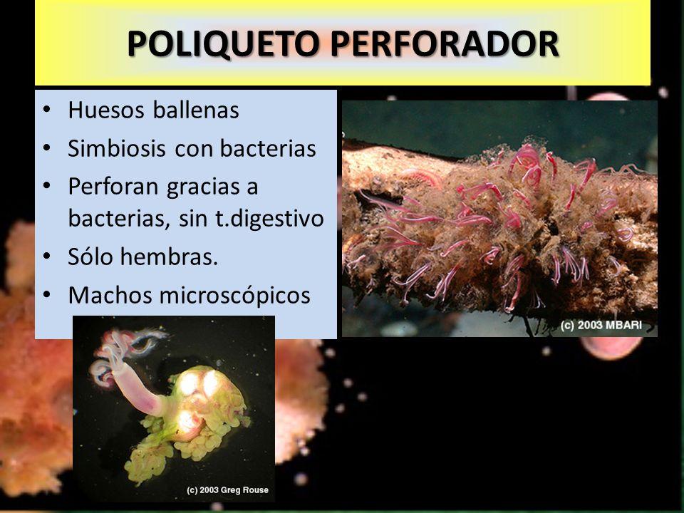 POLIQUETO PERFORADOR Huesos ballenas Simbiosis con bacterias