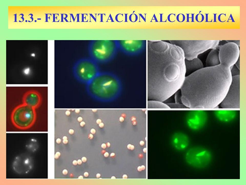 13.3.- FERMENTACIÓN ALCOHÓLICA