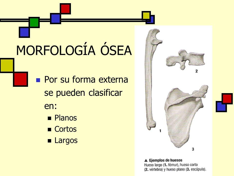 MORFOLOGÍA ÓSEA Por su forma externa se pueden clasificar en: Planos