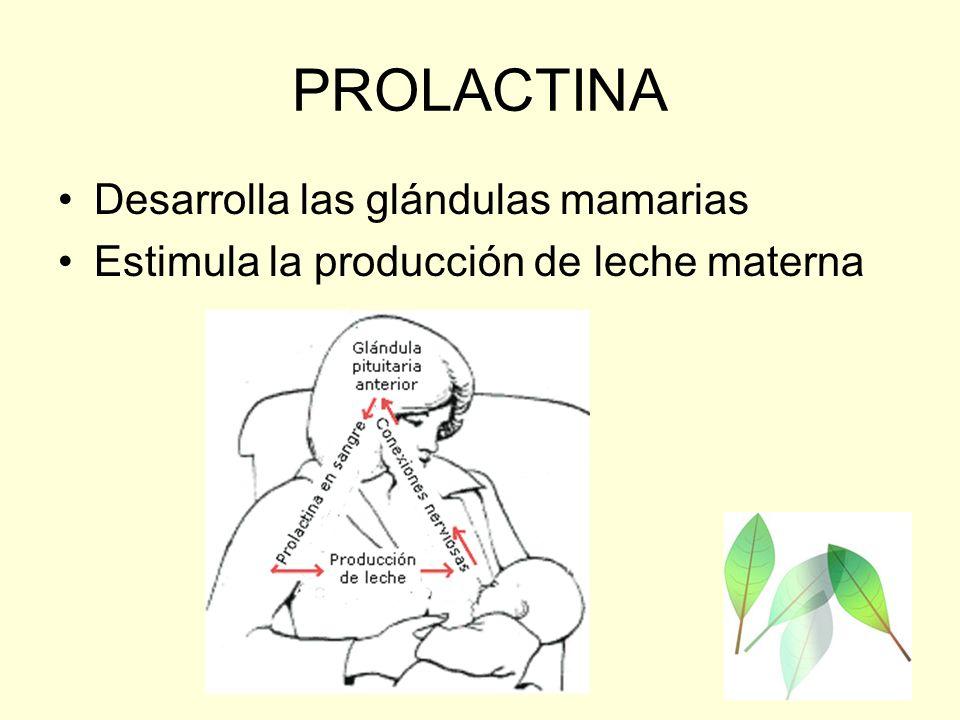 PROLACTINA Desarrolla las glándulas mamarias