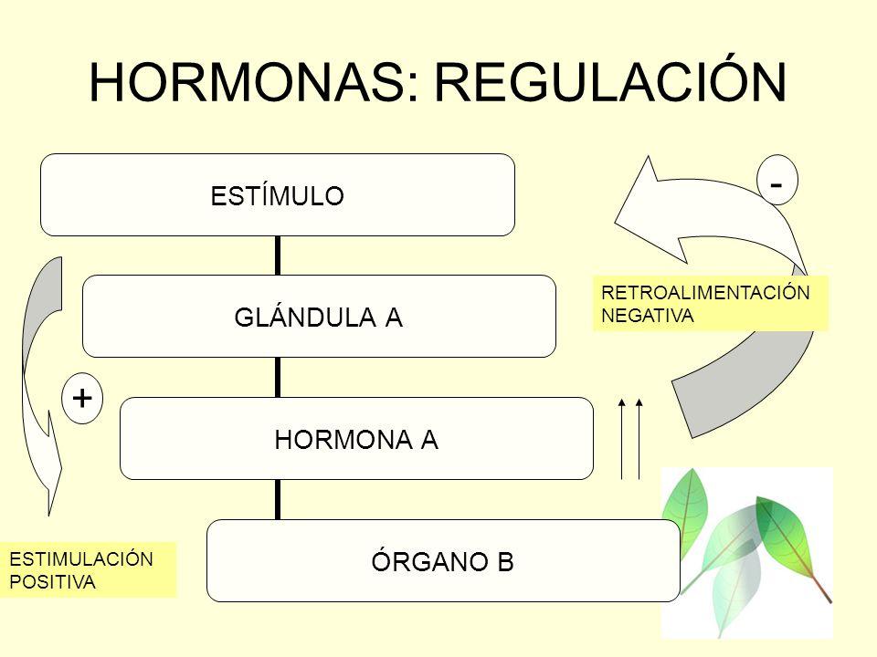 HORMONAS: REGULACIÓN - - + RETROALIMENTACIÓN NEGATIVA