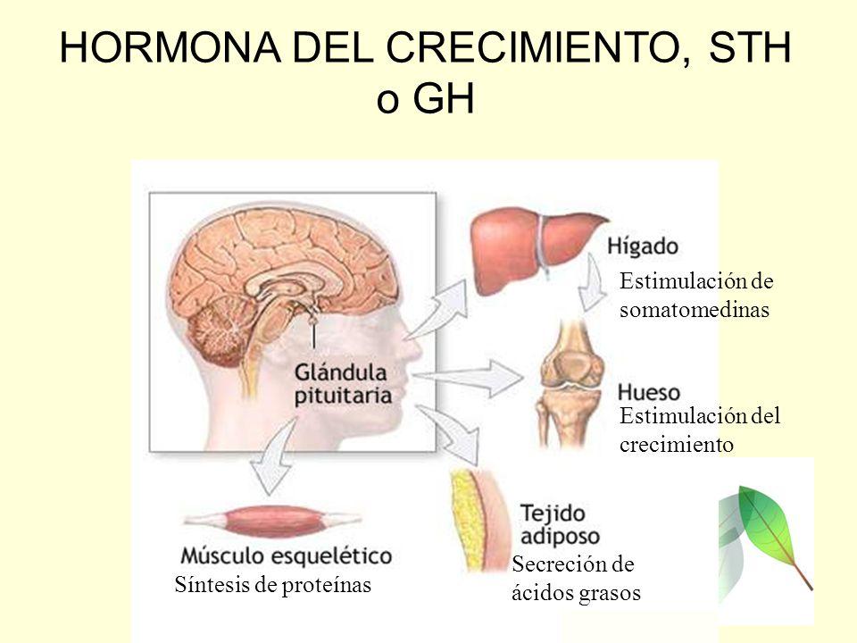 HORMONA DEL CRECIMIENTO, STH o GH