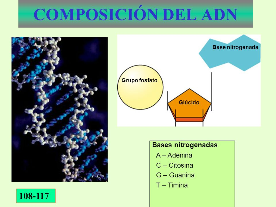 COMPOSICIÓN DEL ADN 108-117 Bases nitrogenadas A – Adenina