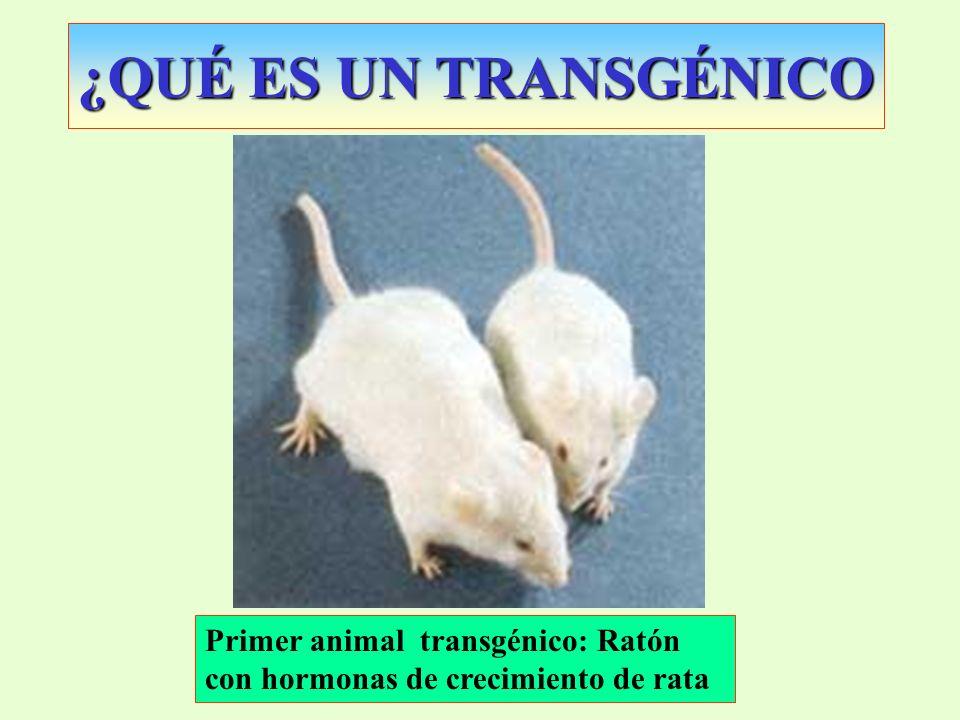 ¿QUÉ ES UN TRANSGÉNICO Primer animal transgénico: Ratón con hormonas de crecimiento de rata