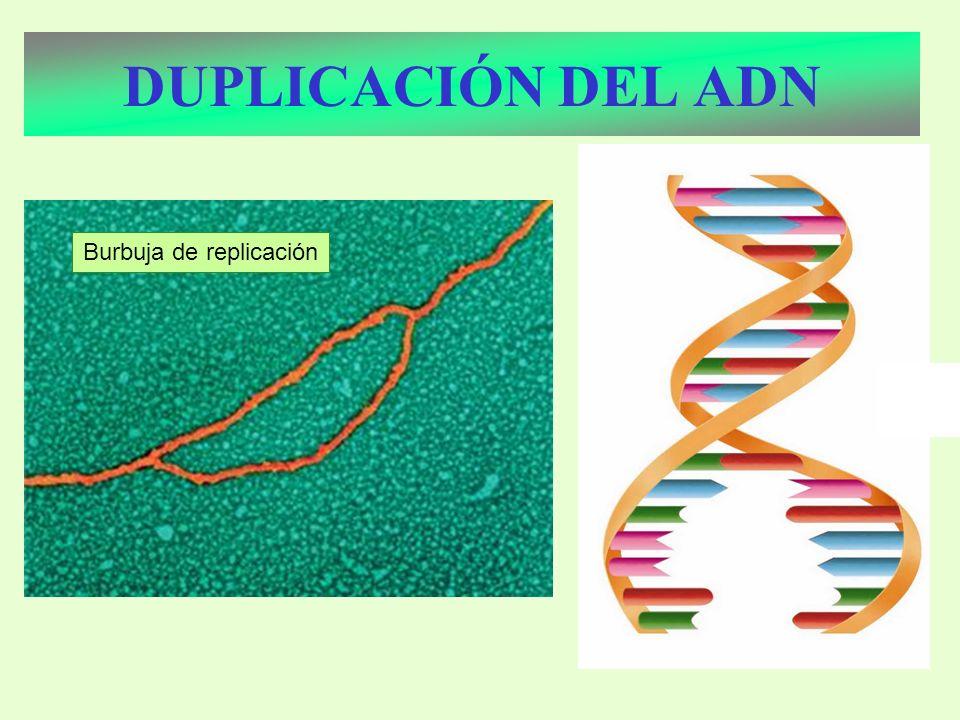 Burbuja de replicación