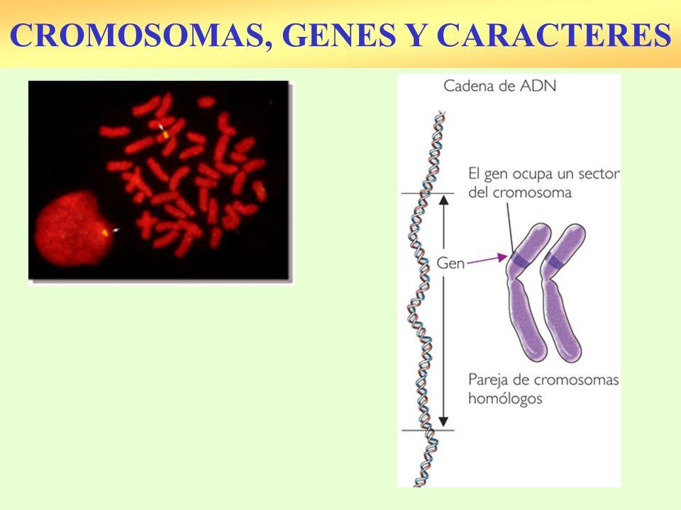 CROMOSOMAS, GENES Y CARACTERES