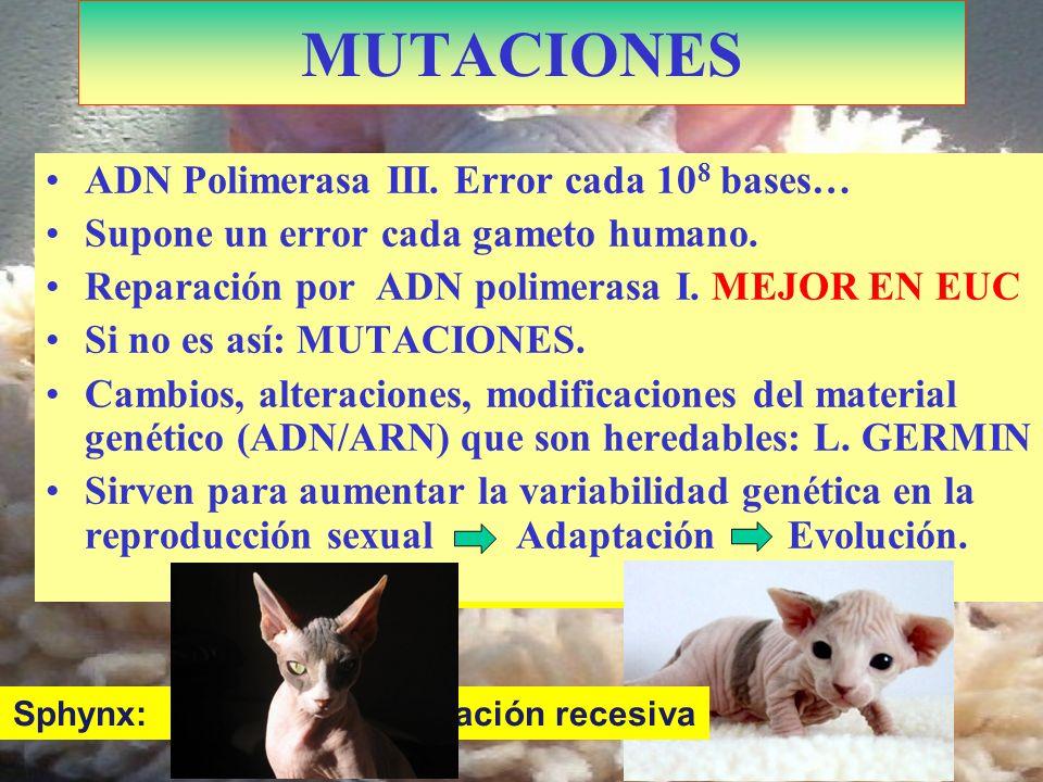 Kohona: Doble mutación Sphynx: Cambios por mutación recesiva