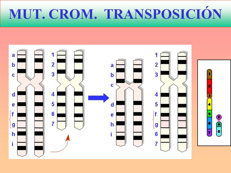 MUT. CROM. TRANSPOSICIÓN