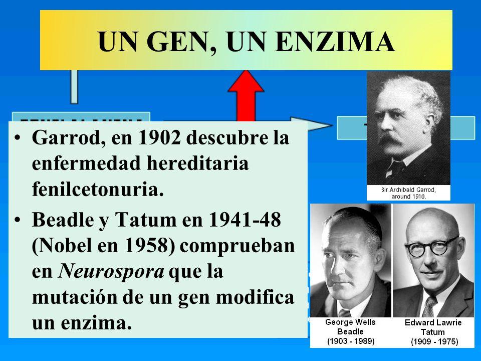 UN GEN, UN ENZIMA Garrod, en 1902 descubre la enfermedad hereditaria fenilcetonuria.