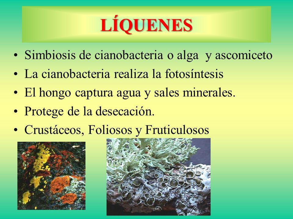 LÍQUENES Simbiosis de cianobacteria o alga y ascomiceto
