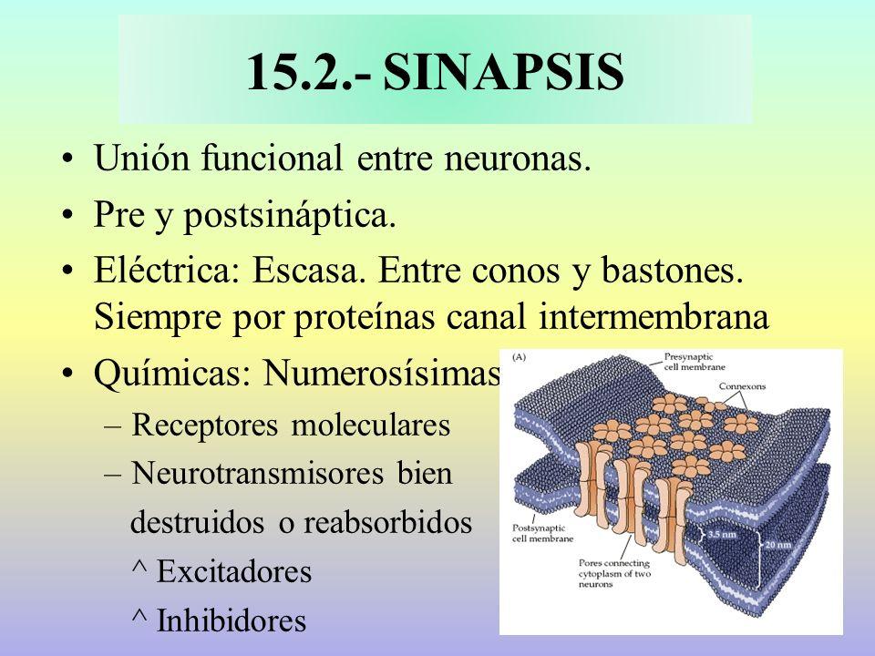 15.2.- SINAPSIS Unión funcional entre neuronas. Pre y postsináptica.
