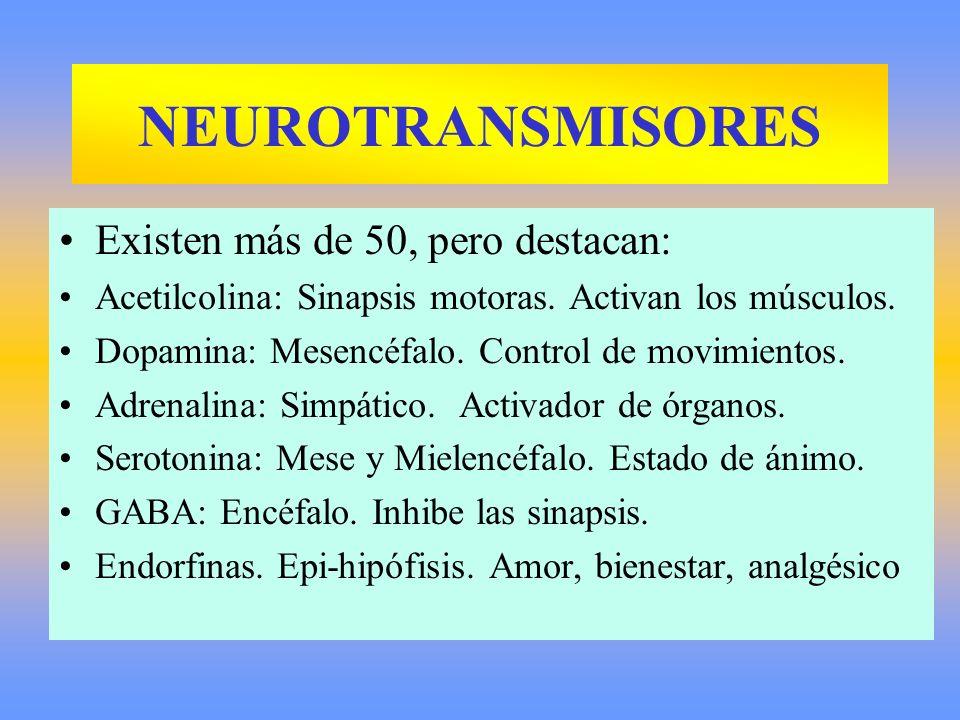 NEUROTRANSMISORES Existen más de 50, pero destacan: