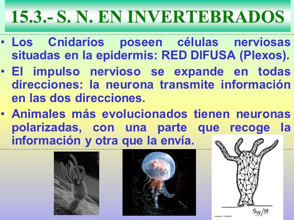 15.3.- S. N. EN INVERTEBRADOS Los Cnidarios poseen células nerviosas situadas en la epidermis: RED DIFUSA (Plexos).