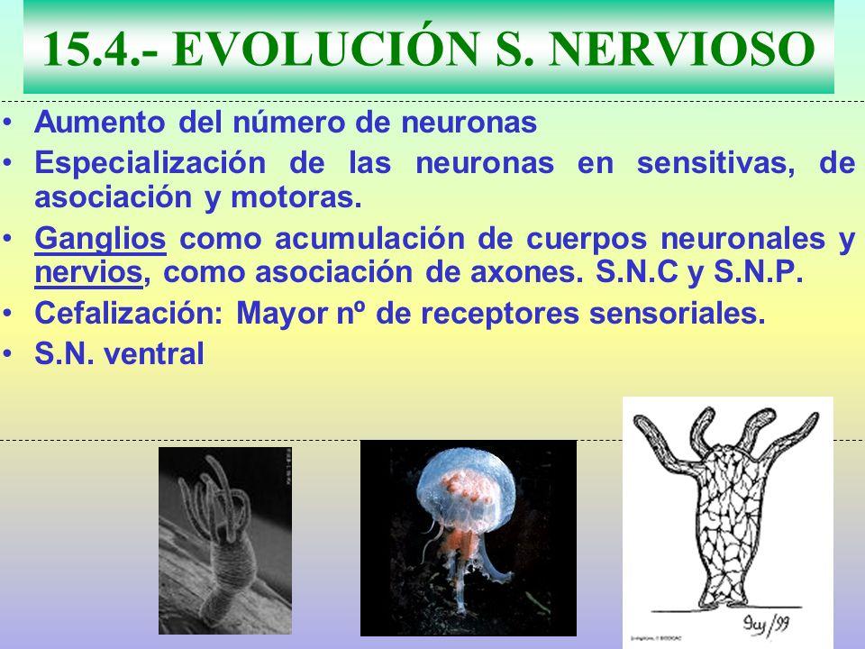 15.4.- EVOLUCIÓN S. NERVIOSO Aumento del número de neuronas