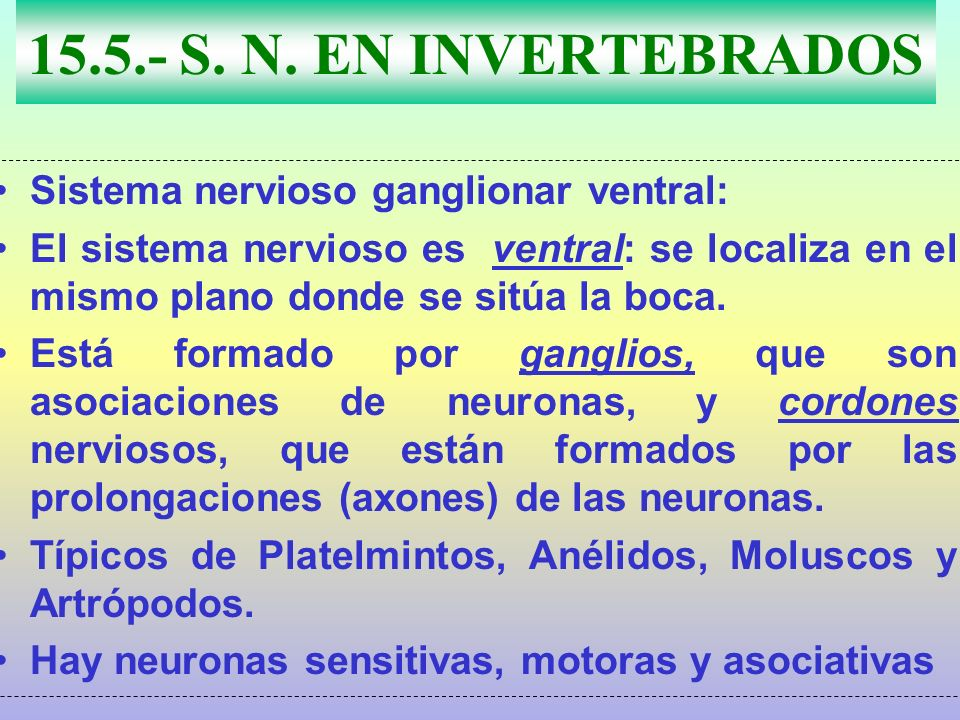 15.5.- S. N. EN INVERTEBRADOS Sistema nervioso ganglionar ventral: