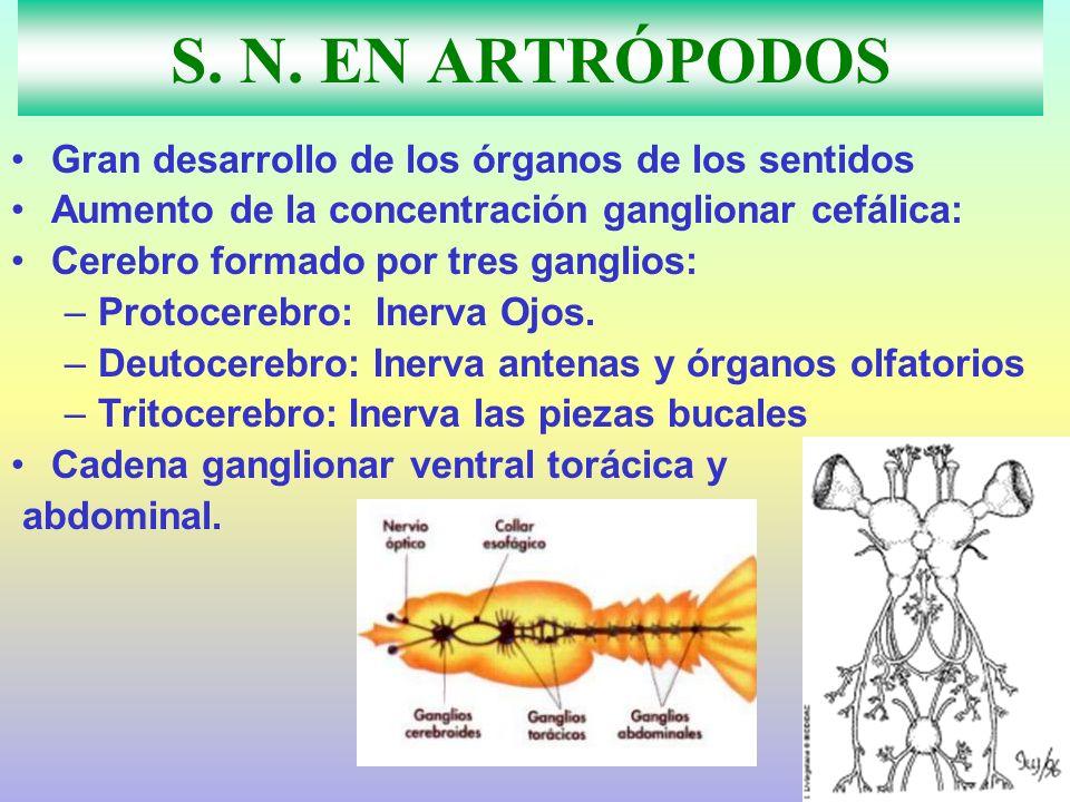 S. N. EN ARTRÓPODOS Gran desarrollo de los órganos de los sentidos