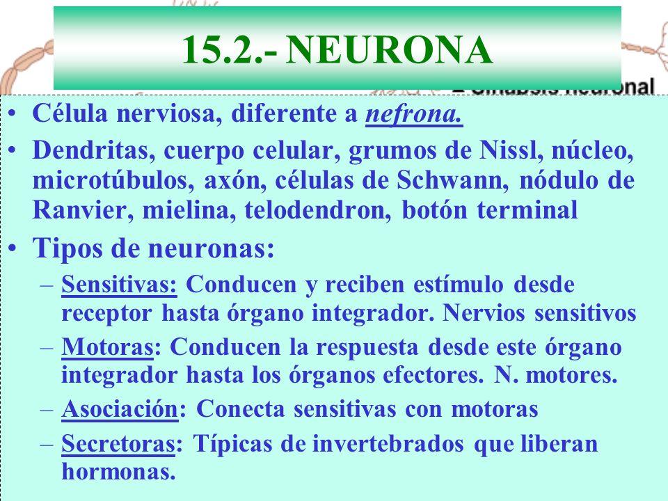 15.2.- NEURONA Tipos de neuronas: