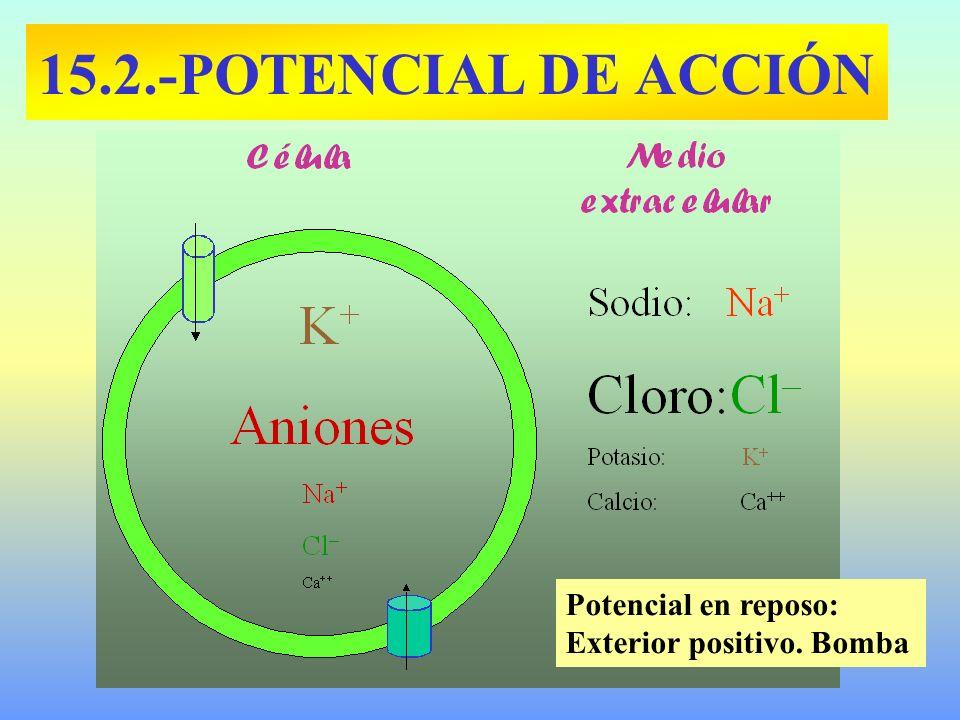 15.2.-POTENCIAL DE ACCIÓN Potencial en reposo: