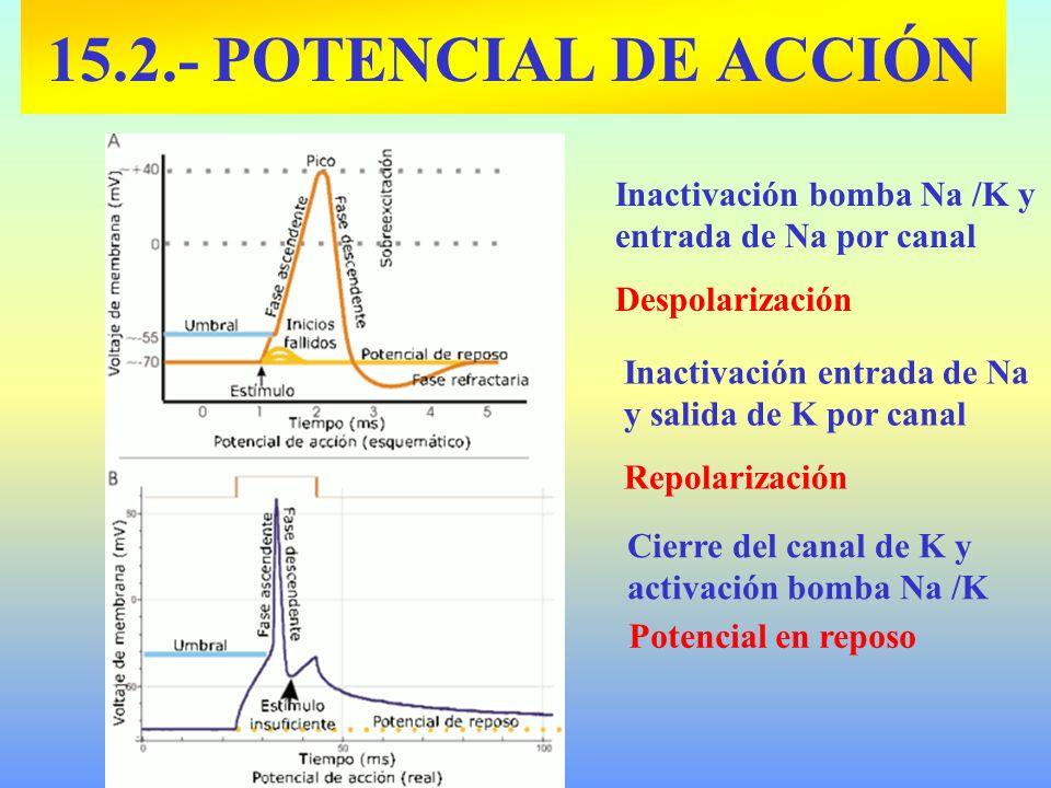 15.2.- POTENCIAL DE ACCIÓNInactivación bomba Na /K y entrada de Na por canal. Despolarización. Inactivación entrada de Na y salida de K por canal.