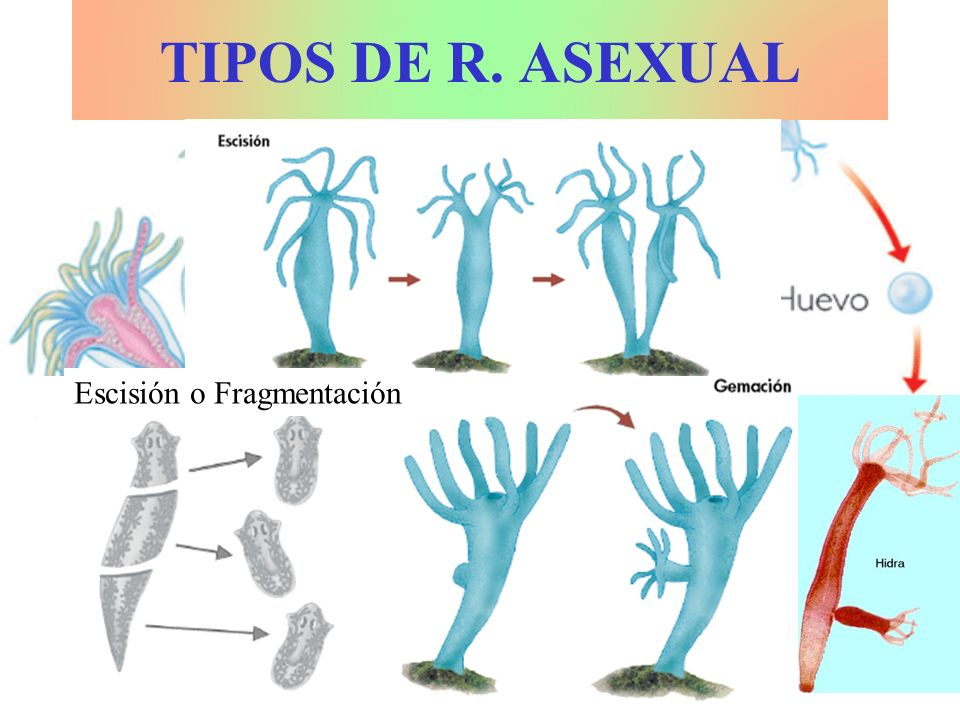 TIPOS DE R. ASEXUAL Escisión o Fragmentación