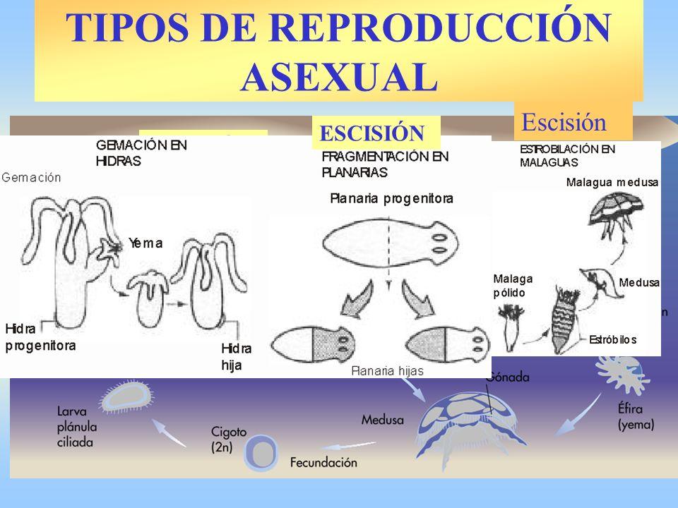 TIPOS DE REPRODUCCIÓN ASEXUAL