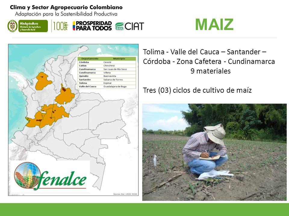 MAIZ Tolima - Valle del Cauca – Santander – Córdoba - Zona Cafetera - Cundinamarca.