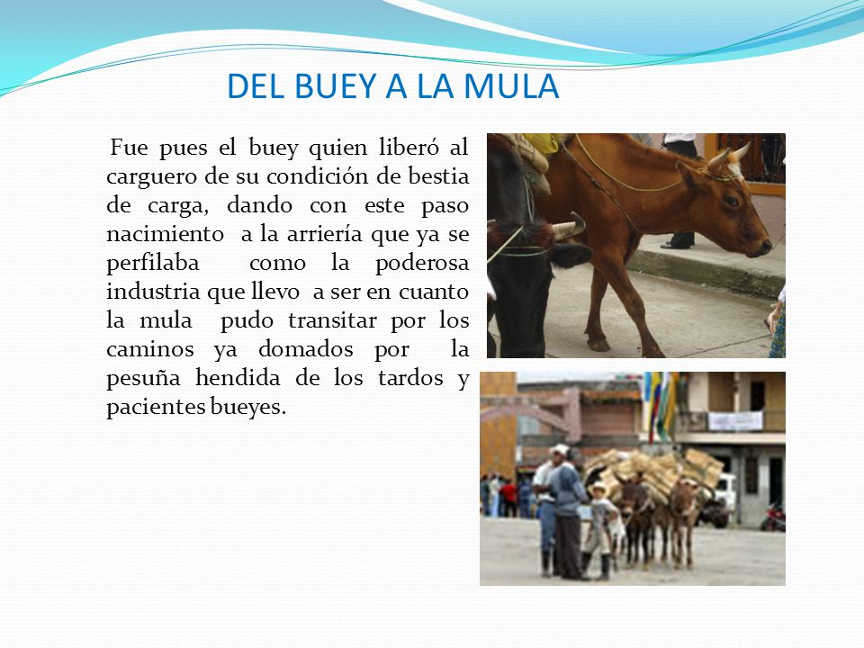 DEL BUEY A LA MULA