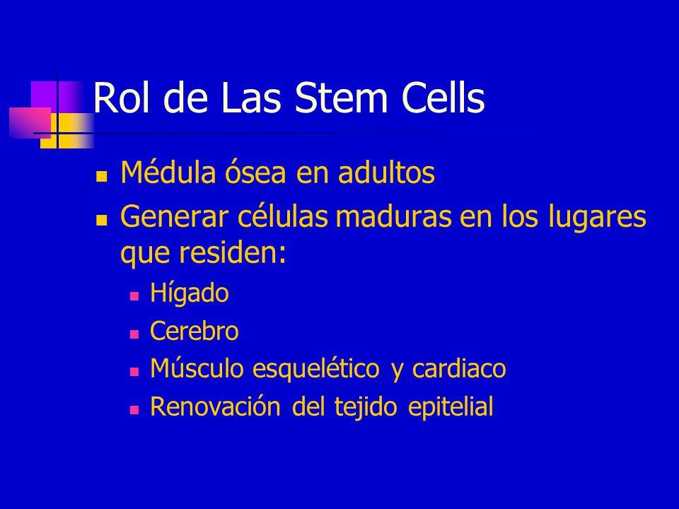 Rol de Las Stem Cells Médula ósea en adultos