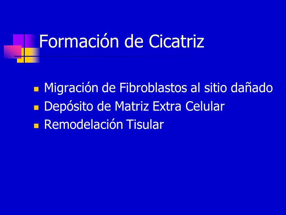 Formación de Cicatriz Migración de Fibroblastos al sitio dañado