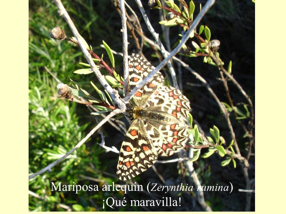 Mariposa arlequín (Zerynthia rumina) ¡Qué maravilla!