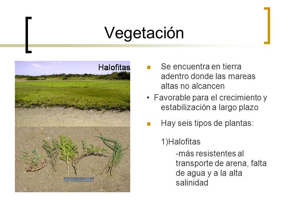 Vegetación Se encuentra en tierra adentro donde las mareas altas no alcancen. • Favorable para el crecimiento y estabilización a largo plazo.