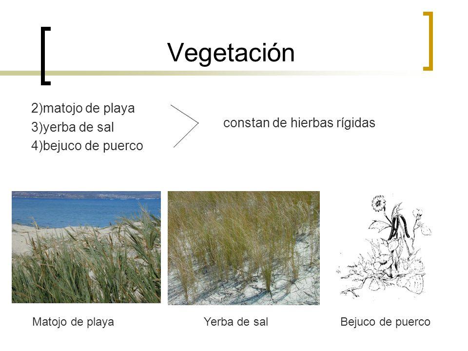 Vegetación 2)matojo de playa 3)yerba de sal 4)bejuco de puerco