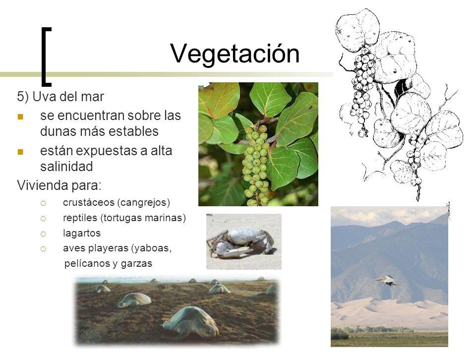 Vegetación 5) Uva del mar se encuentran sobre las dunas más estables