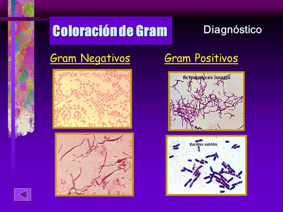 Coloración de Gram Diagnóstico Gram Negativos Gram Positivos