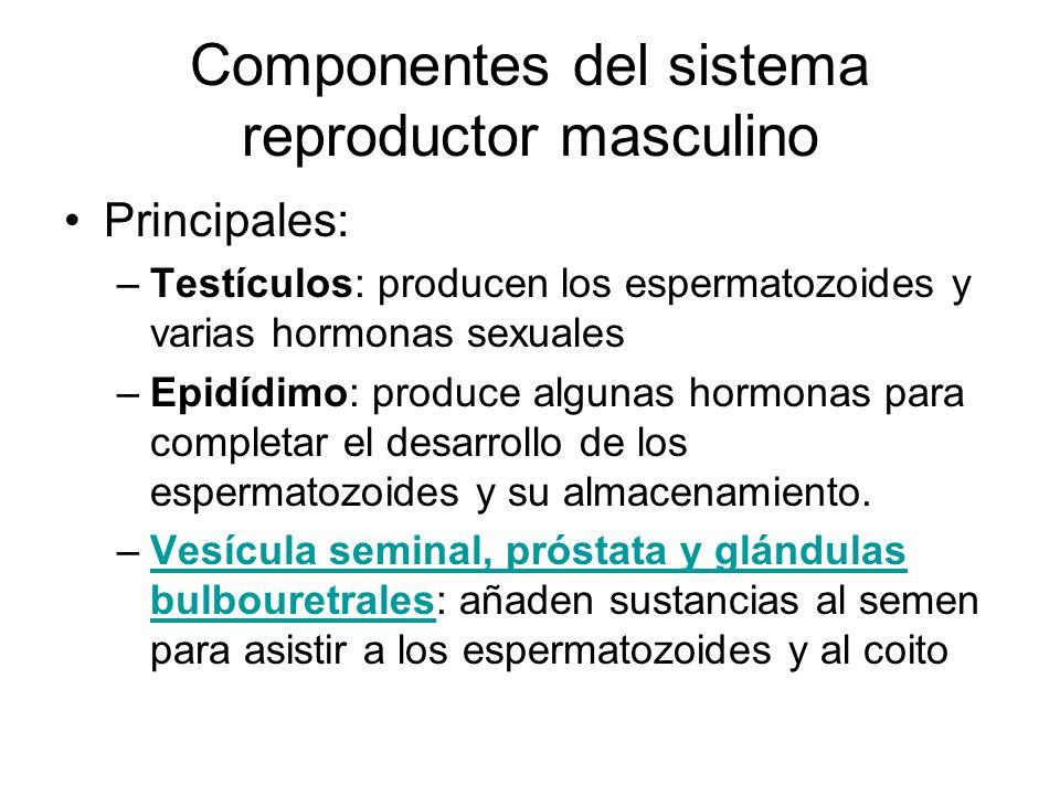 Componentes del sistema reproductor masculino