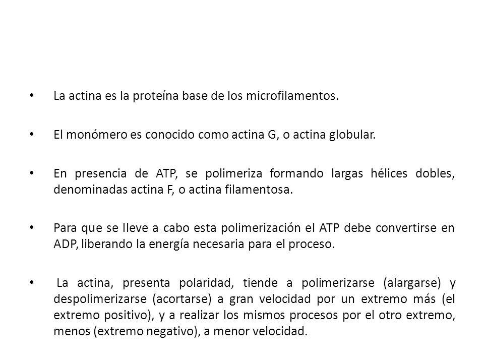 La actina es la proteína base de los microfilamentos.