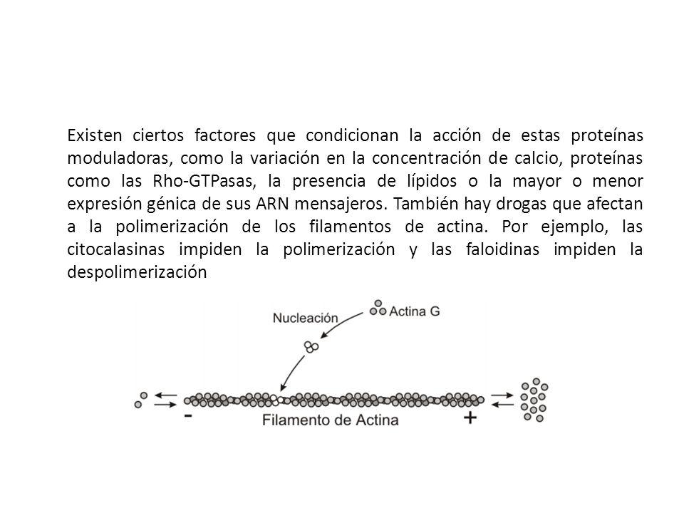 Existen ciertos factores que condicionan la acción de estas proteínas moduladoras, como la variación en la concentración de calcio, proteínas como las Rho-GTPasas, la presencia de lípidos o la mayor o menor expresión génica de sus ARN mensajeros.