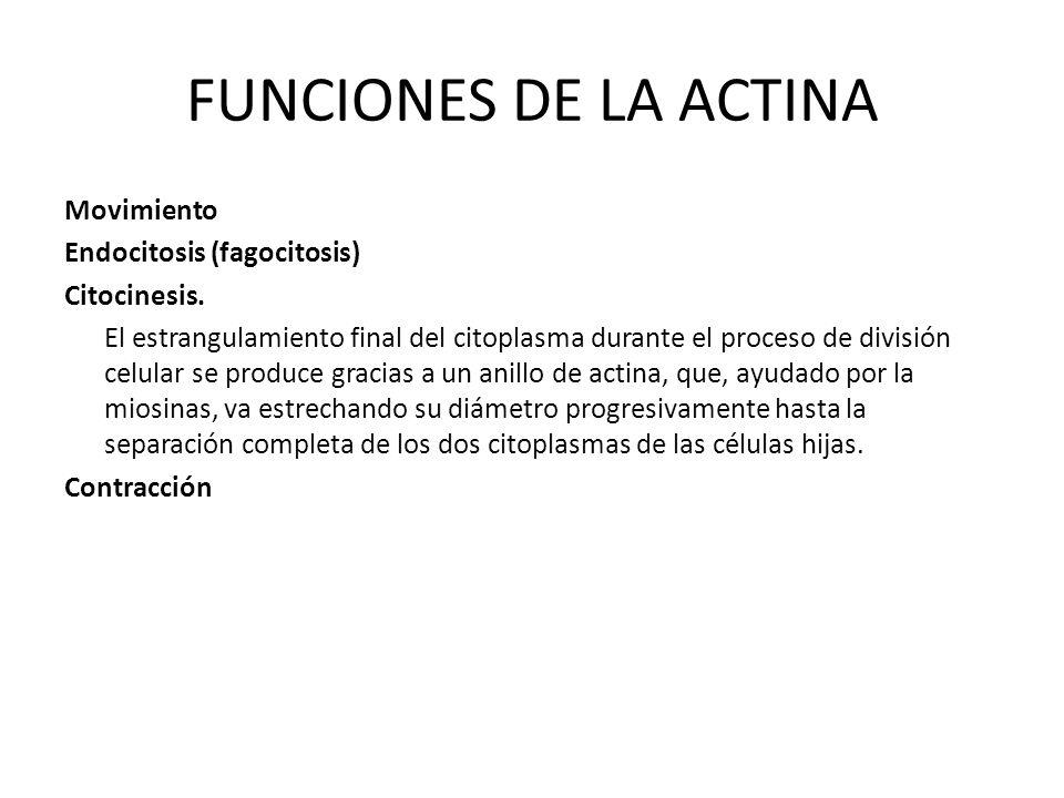 FUNCIONES DE LA ACTINA