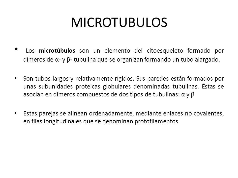 MICROTUBULOS Los microtúbulos son un elemento del citoesqueleto formado por dímeros de α- y β- tubulina que se organizan formando un tubo alargado.