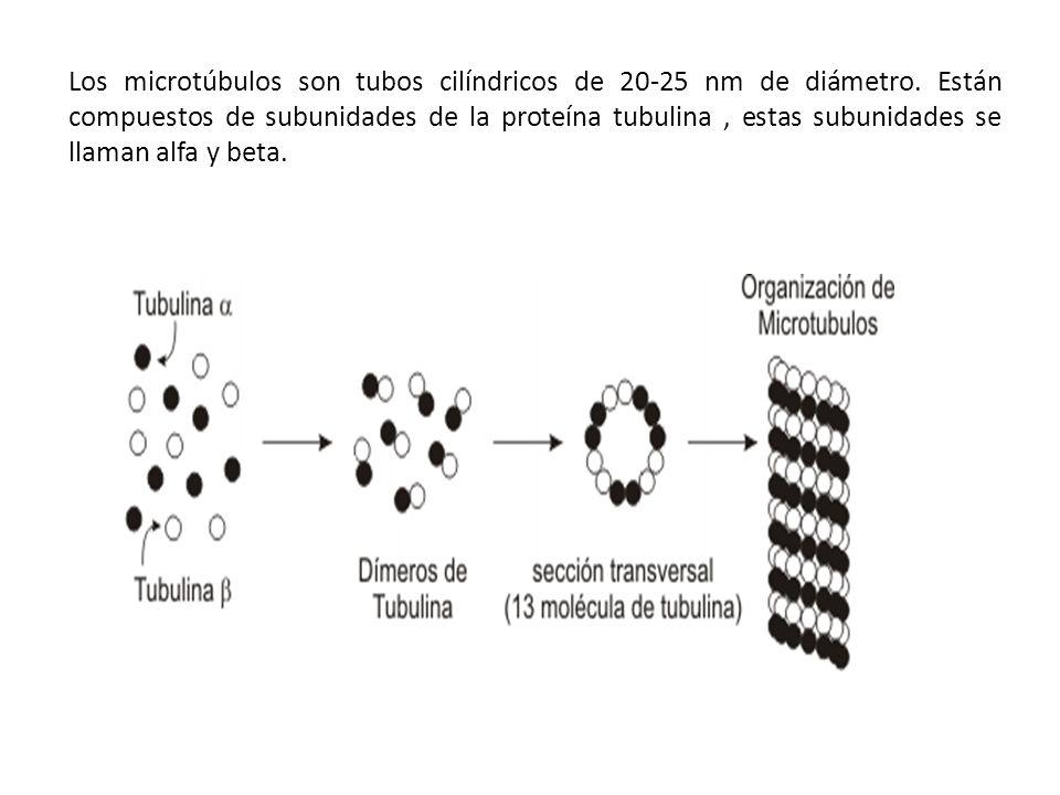 Los microtúbulos son tubos cilíndricos de 20-25 nm de diámetro