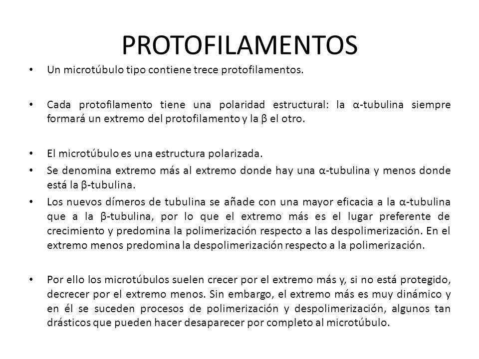 PROTOFILAMENTOS Un microtúbulo tipo contiene trece protofilamentos.