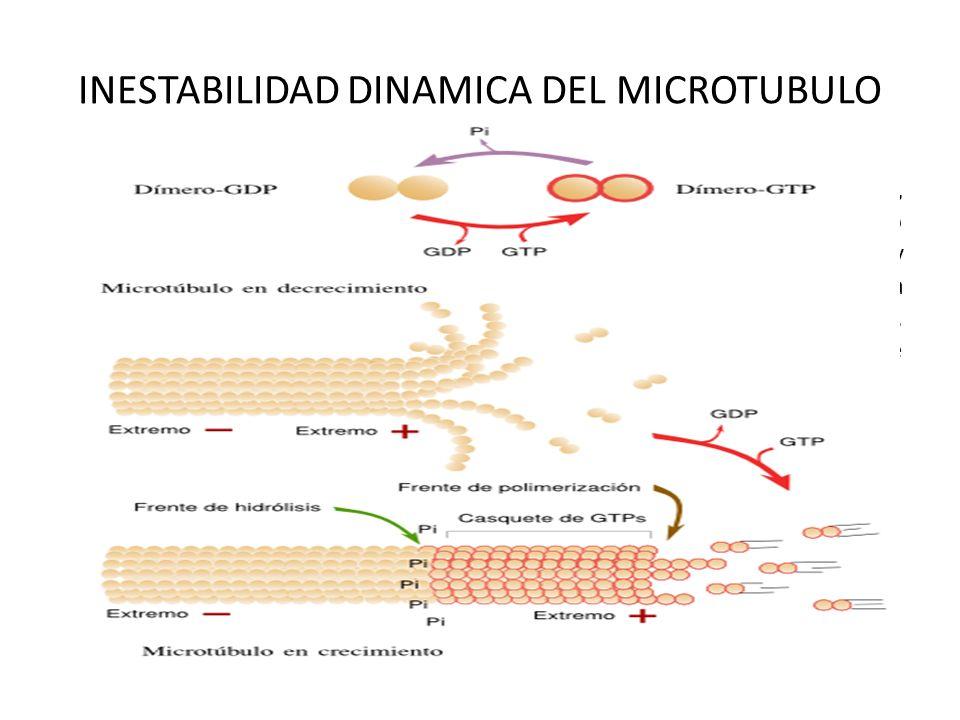INESTABILIDAD DINAMICA DEL MICROTUBULO