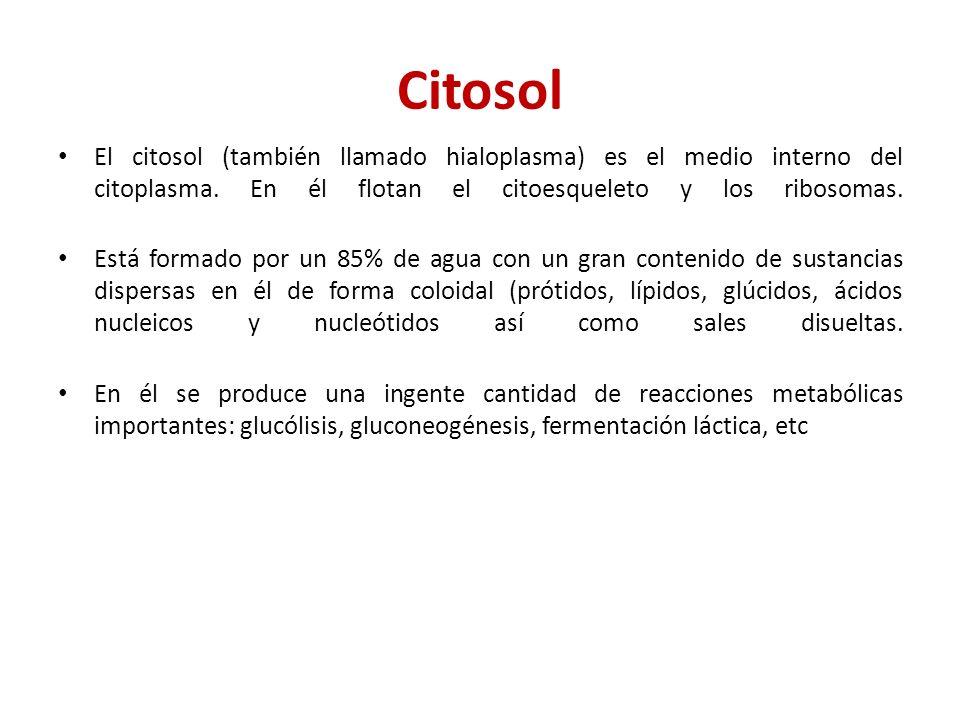 Citosol El citosol (también llamado hialoplasma) es el medio interno del citoplasma. En él flotan el citoesqueleto y los ribosomas.