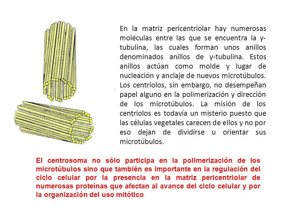En la matriz pericentriolar hay numerosas moléculas entre las que se encuentra la γ- tubulina, las cuales forman unos anillos denominados anillos de γ-tubulina. Estos anillos actúan como molde y lugar de nucleación y anclaje de nuevos microtúbulos. Los centriolos, sin embargo, no desempeñan papel alguno en la polimerización y dirección de los microtúbulos. La misión de los centriolos es todavía un misterio puesto que las células vegetales carecen de ellos y no por eso dejan de dividirse u orientar sus microtúbulos.