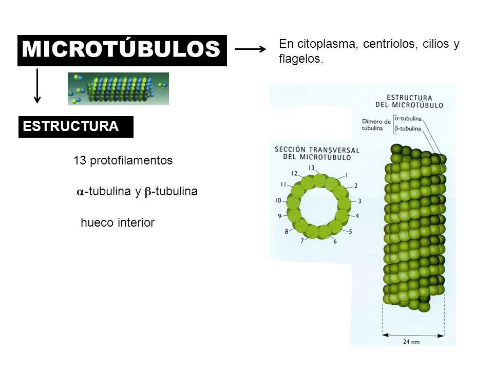 MICROTÚBULOS ESTRUCTURA En citoplasma, centriolos, cilios y flagelos.