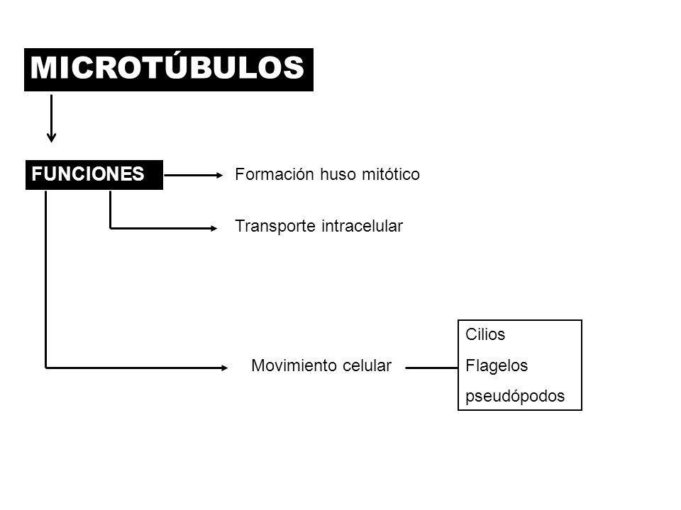 MICROTÚBULOS FUNCIONES Formación huso mitótico Transporte intracelular