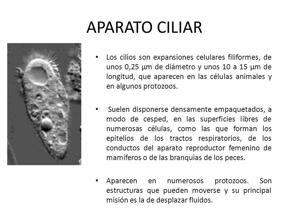 APARATO CILIAR