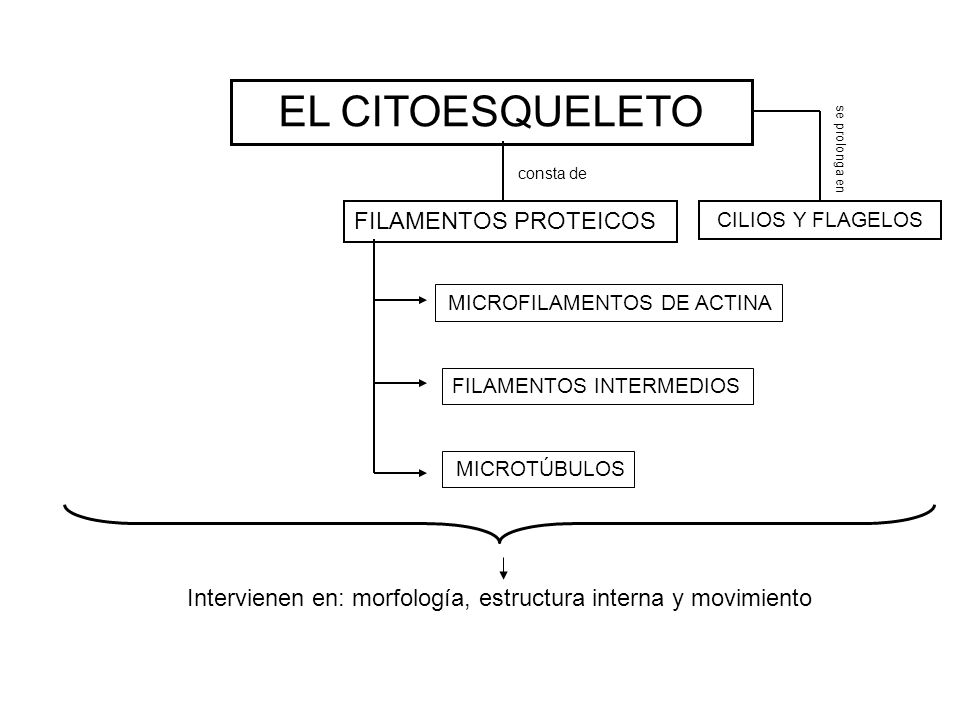EL CITOESQUELETO FILAMENTOS PROTEICOS